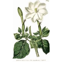Gardenia Powder (Chinese)