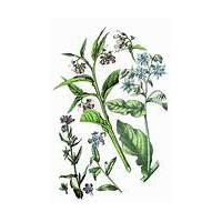 Alkanet Root - Origin Pakistan